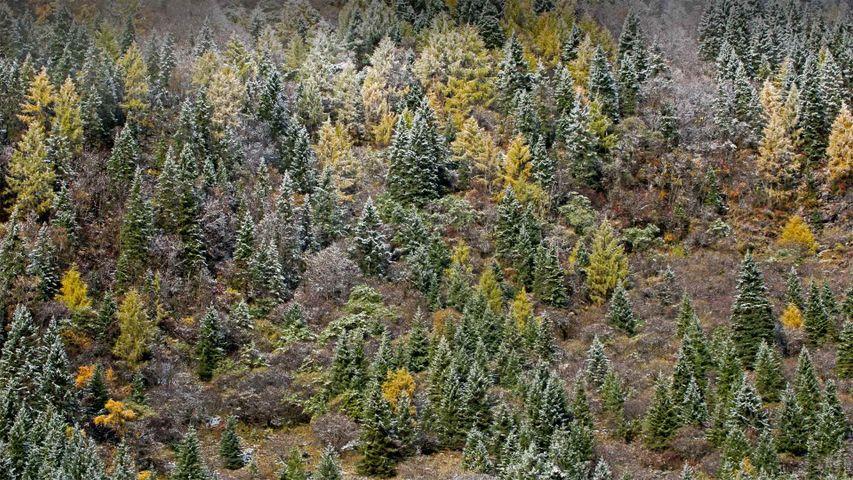Las laderas del Monte Siguniang bajo la escarcha, en la provincia de Sichuán, China