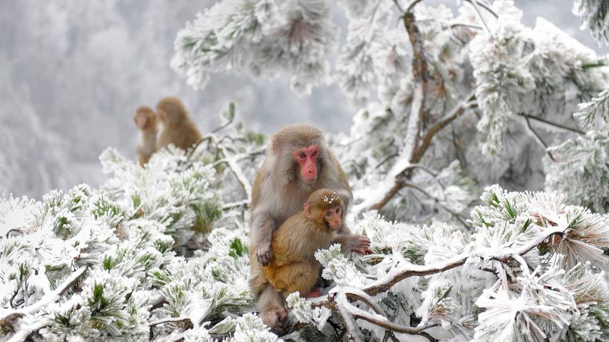 Rhesus macaques in the Wulingyuan wilderness near Zhangjiajie, China
