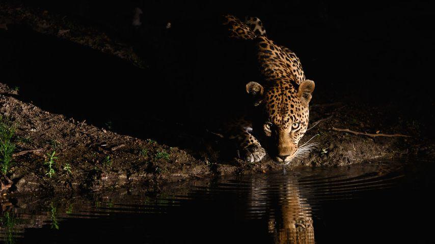 「アフリカヒョウ」南アフリカ