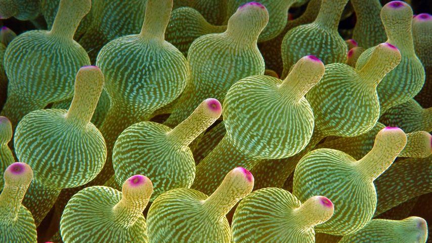 Blasenanemone, Great Barrier Reef, Australien