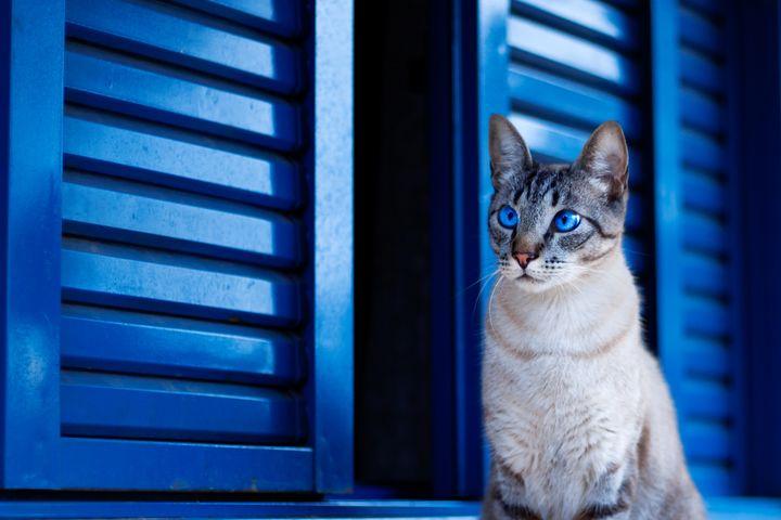 cat sitting animal carnivore blue staring domestic cat