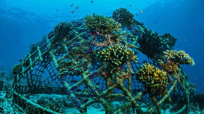 Biorocks growing coral off the Gili Islands, Indonesia