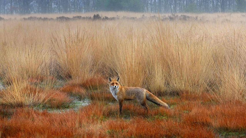 Red fox in the Netherlands