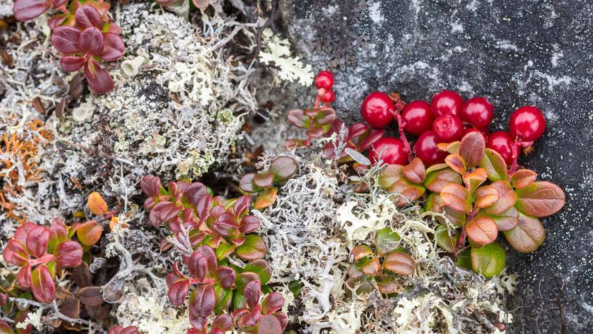 Bearberry (arctostaphylos) and lichens, Nunavik, Que.