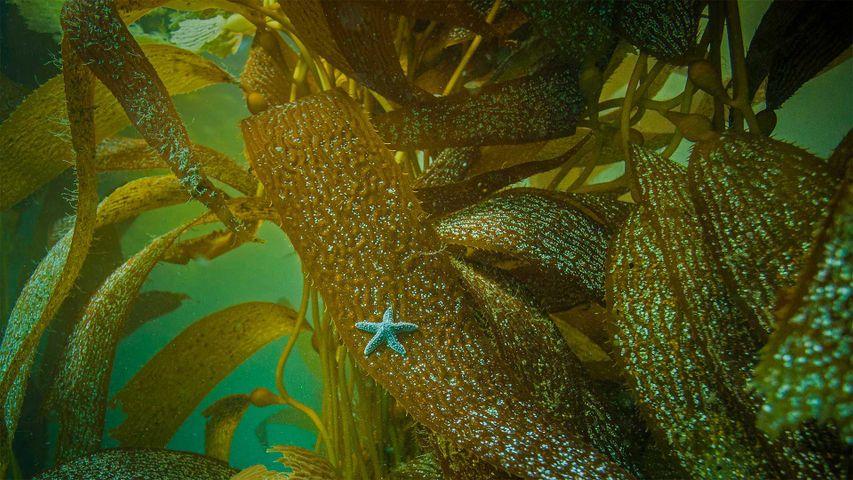 Ochre sea star on kelp off the coast of California