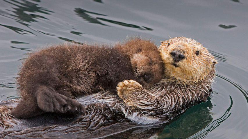 Maman loutre de mer et son nouveau-né, baie de Monterey, Californie, États-Unis