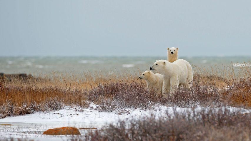 丘吉尔哈德逊湾附近的北极熊一家,加拿大马尼托巴省