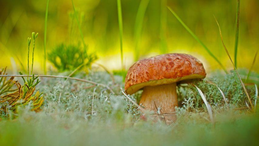 A porcini mushroom