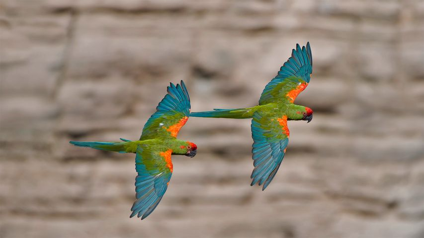 Red-fronted macaws in Omerque, Cochabamba, Bolivia