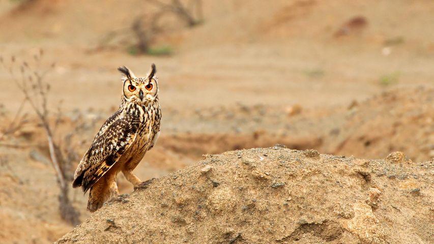 Eagle owl bird of prey in Karnataka.
