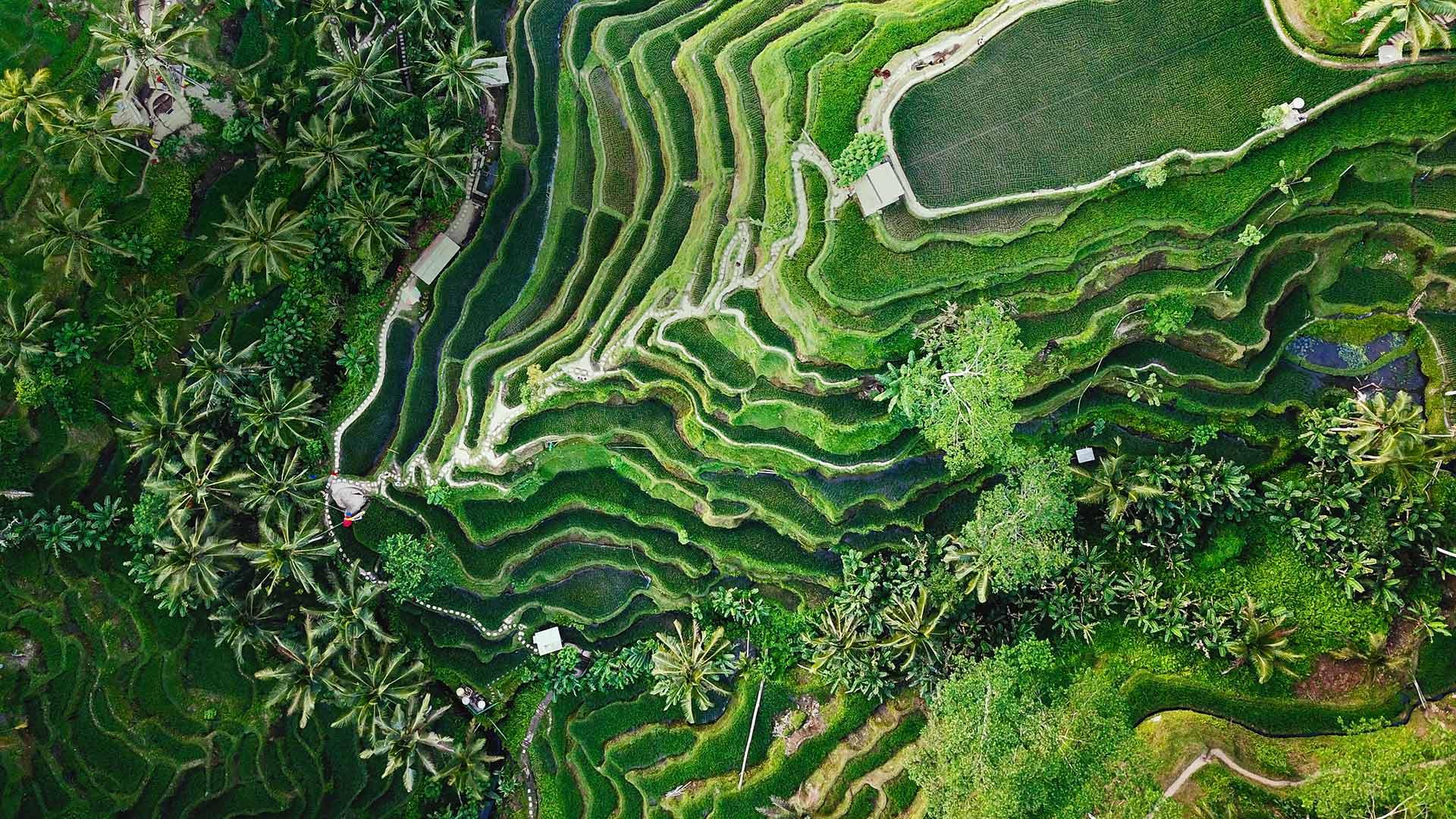 Terrazas De Tegallalang En Ubud Isla De Bali Indonesia