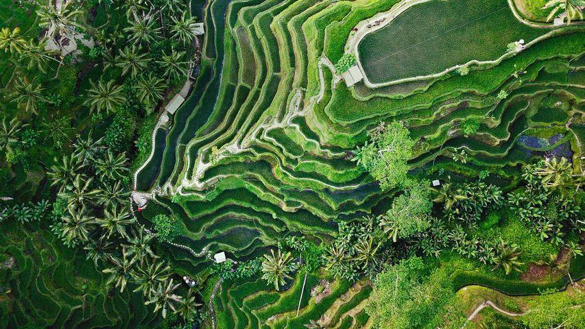 乌布的德格拉朗梯田,印度尼西亚巴厘岛