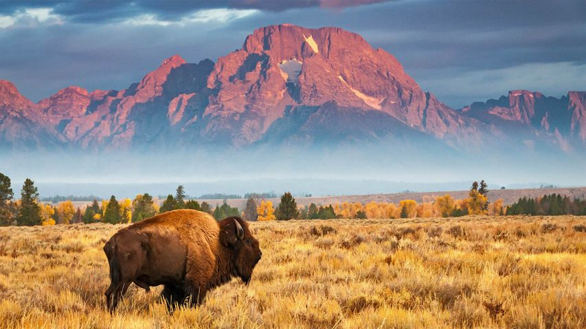 Bison in Grand Teton National Park, Wyoming
