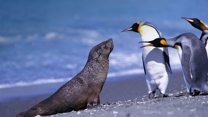 南乔治亚索尔兹伯里平原的国王企鹅和海狗