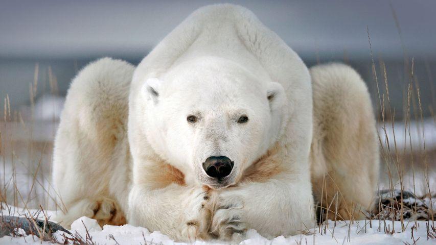 A polar bear near Churchill, Manitoba, Canada