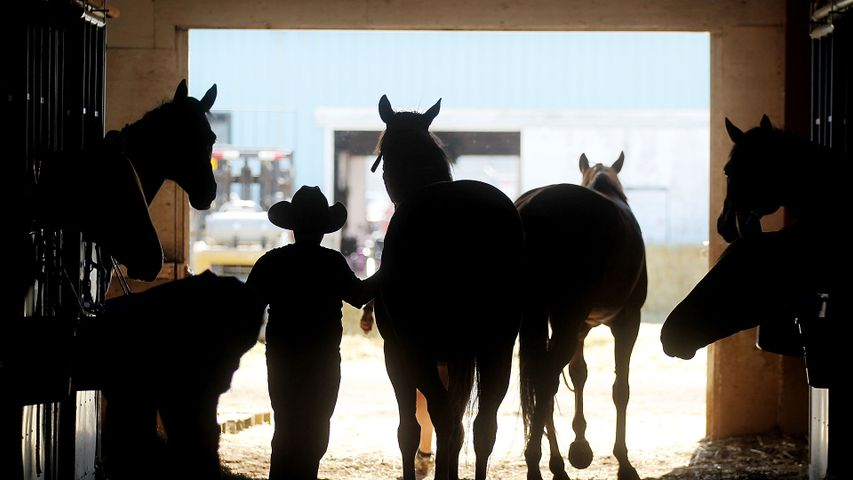 A cowboy tends to horses in a barn at the Calgary Stampede on July 10, 2011 in Calgary