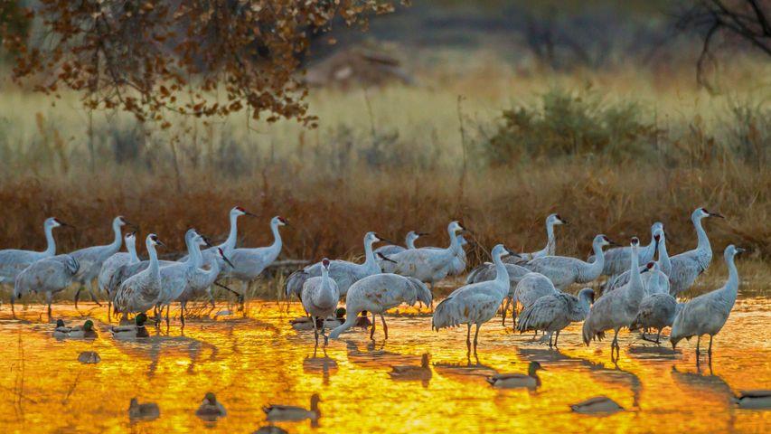 Sandhill cranes and mallard ducks, Bosque del Apache National Wildlife Refuge, New Mexico