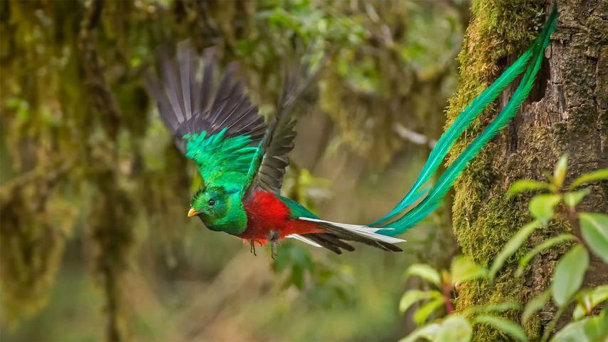 Male resplendent quetzal in Costa Rica