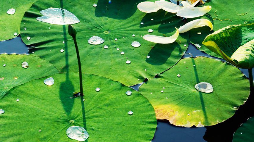 北京圆明园的睡莲