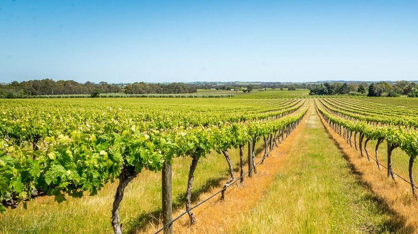 Vineyard in Barossa Valley, South Australia