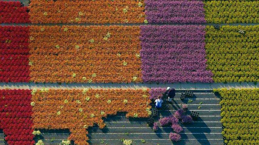 Aerial view of a flower farm, North Rhine-Westphalia, Germany