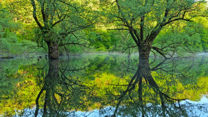 Willow trees, Lake Bret, Bugey, France