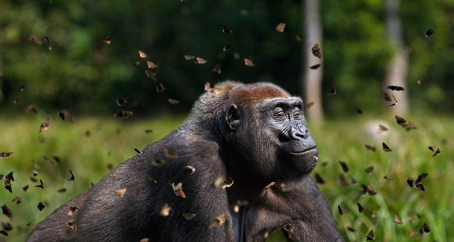 Western lowland gorilla female in a cloud of butterflies, Dzanga-Sangha Special Reserve, Central African Republic