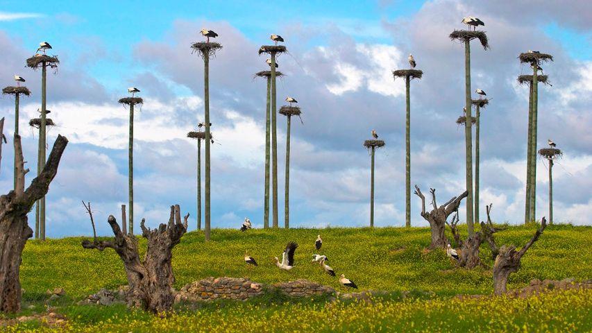Cigüeñas blancas en la carretera de Malpartida, Cáceres