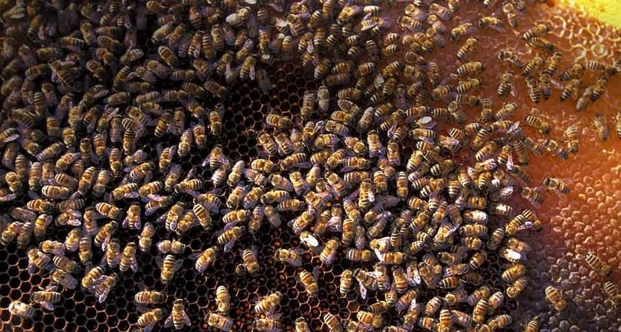 Bees in San Felice Circeo, Italy