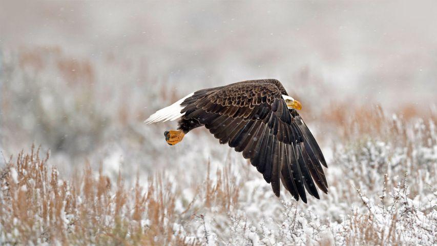「ハクトウワシ」米国ワイオミング州, グランドティトン国立公園