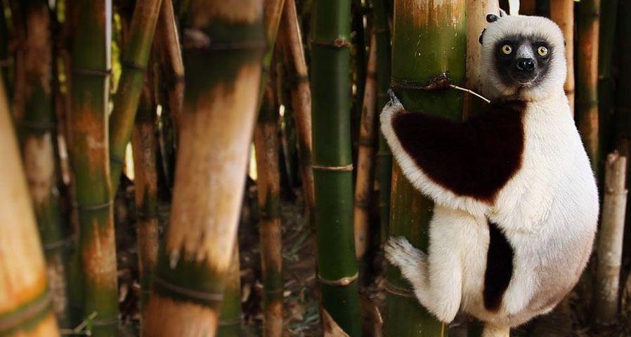 Lemur on a bamboo tree, Madagascar