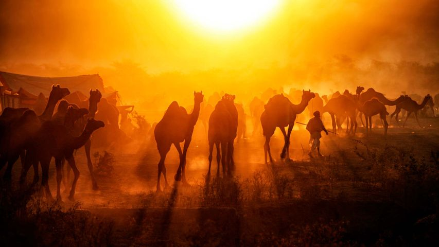 Silhouette of camels against sunrise at Pushkar Mela