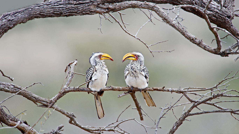 克鲁格国家公园中的黄嘴犀鸟,南非