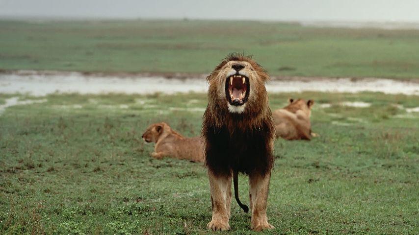 坦桑尼亚塞伦盖蒂国家公园,暴雨过后咆哮的非洲雄狮