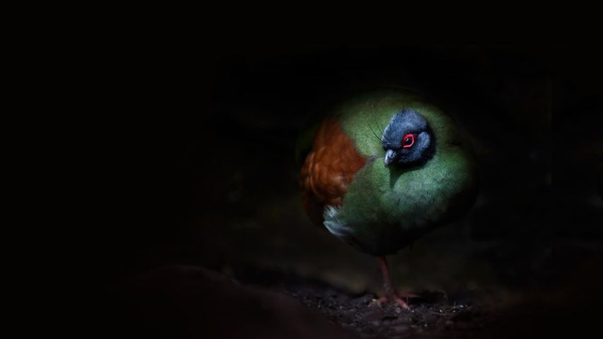 A crested wood partridge