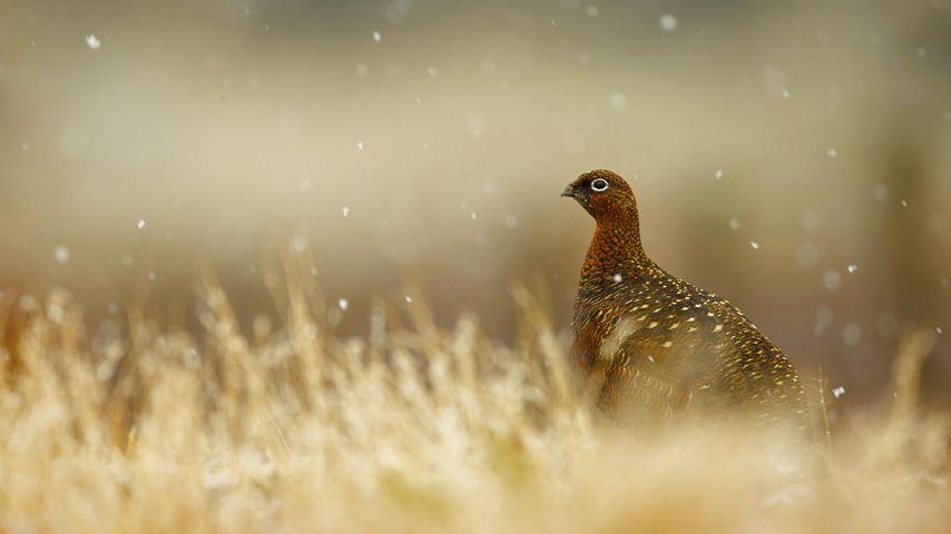 苏格兰高地的红松鸡