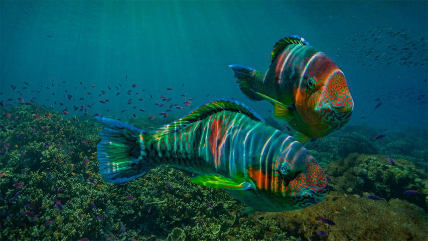 Parrotfish off the coast of Negros Oriental province in the Philippines