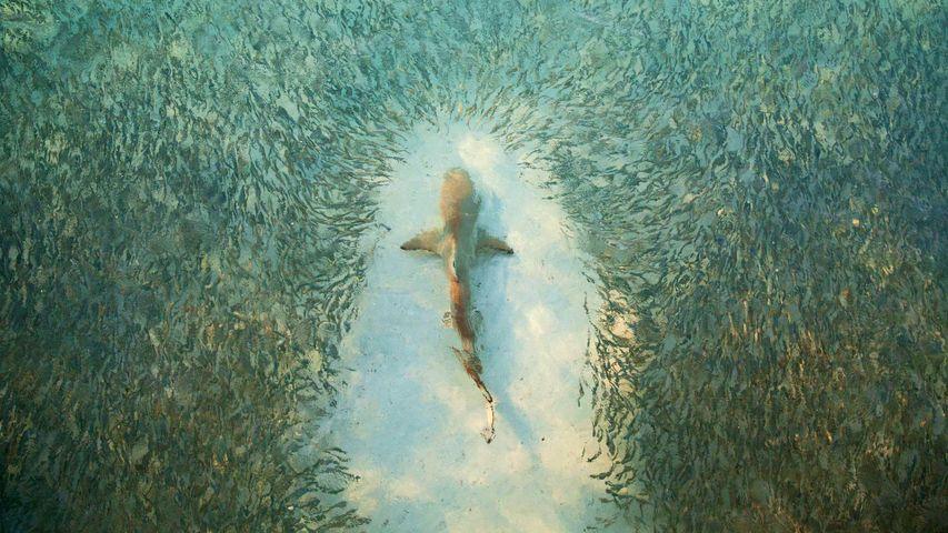 Fish avoid a shark near Heron Island, Australia