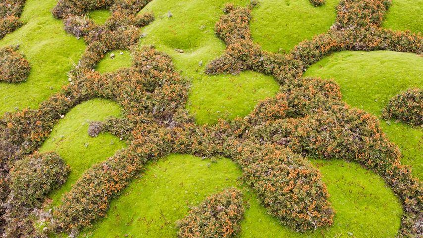Cushion plants and ferns in Walls of Jerusalem National Park, Tasmania, Australia