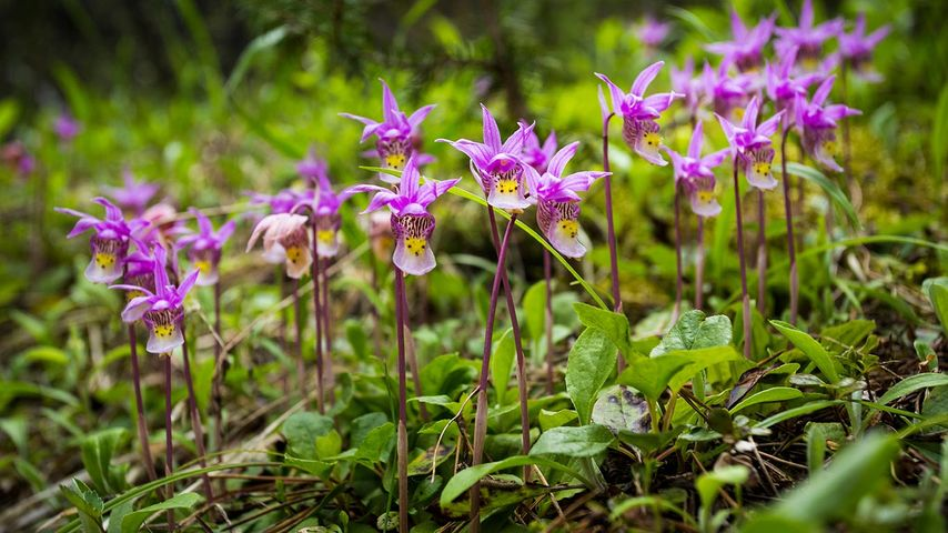 Calypso Orchids, Banff National Park, Alberta