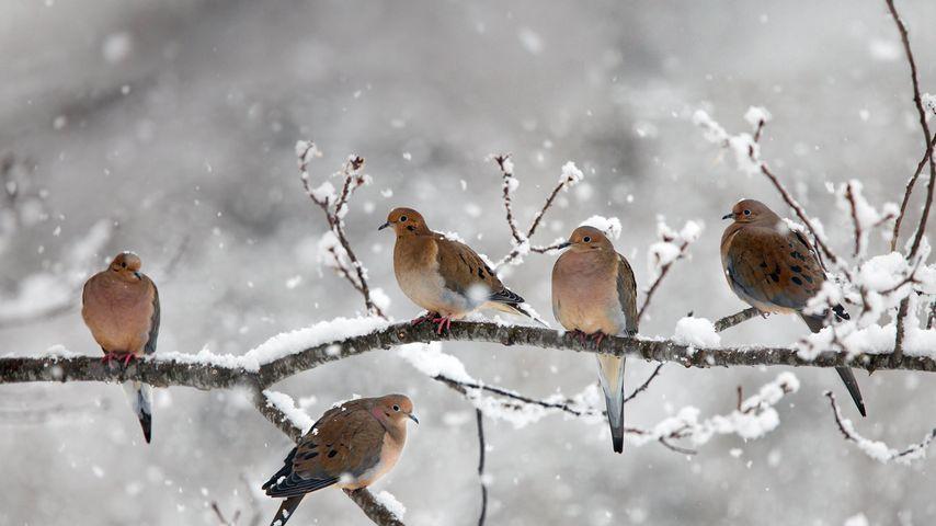 Mourning doves near Bear River, Nova Scotia, Canada