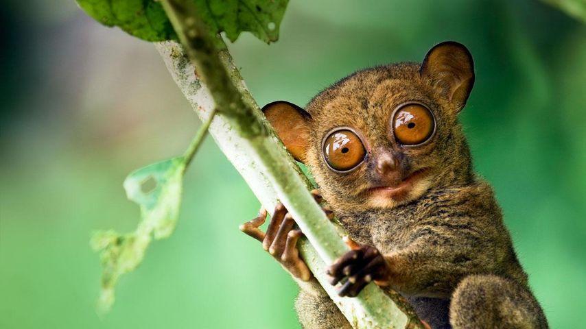 Western tarsier in a Malaysian rainforest in Danum Valley, Sabah, Borneo