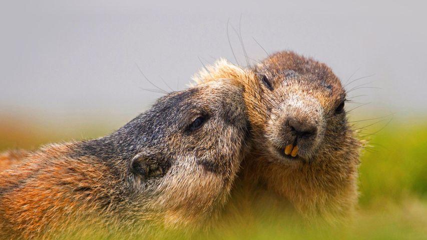 Alpine marmots at Hohe Tauern National Park, Austria