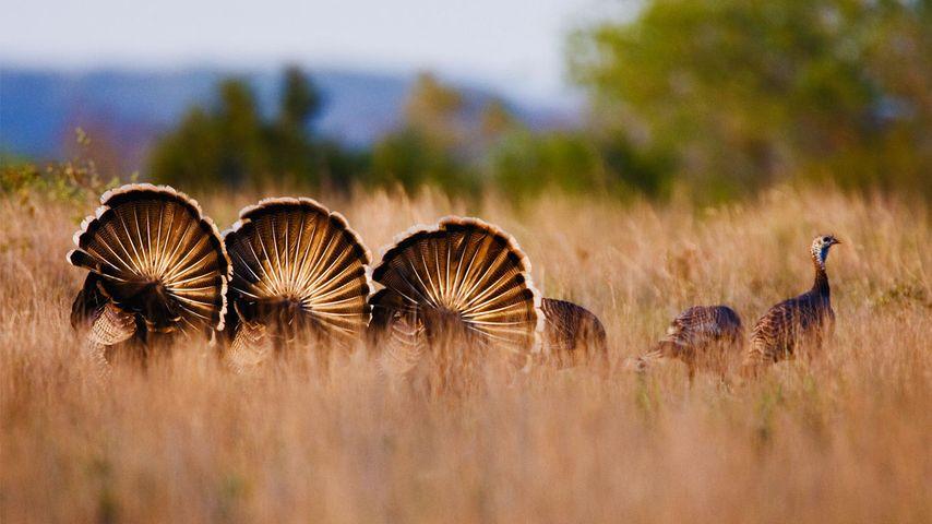 Wild turkeys in Rio Grande, Texas