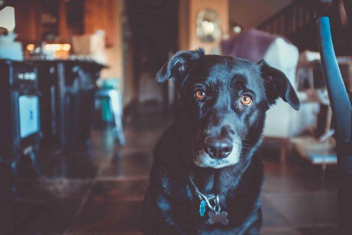 dog indoor floor black looking mammal staring street