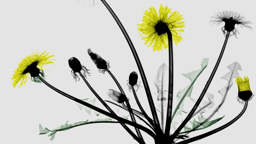 Coloured X-ray of dandelion flowers