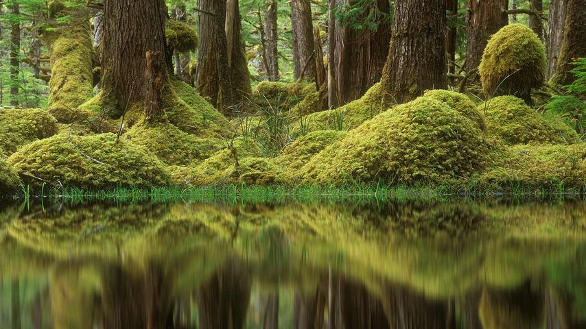 Swamp Forest, Tow Hill Ecological Reserve, B.C.