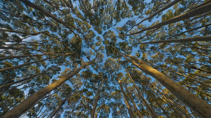 Eucalyptus trees in New South Wales, Australia