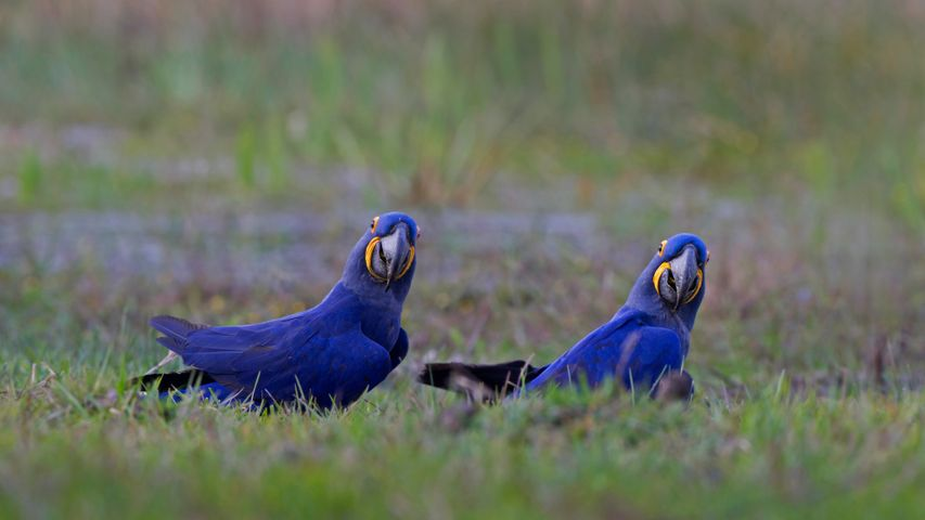 Hyacinth macaws in the Pantanal region of Brazil