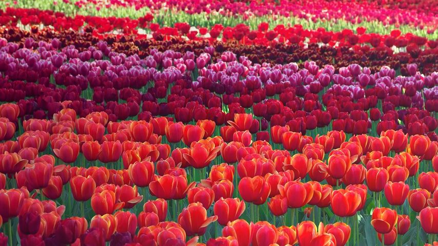 Tulips at the Floriade flower festival in Canberra, Australia